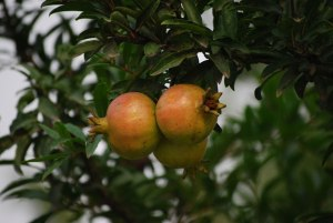 pomegranite tree publicdomainpictures