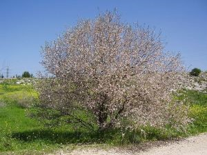Almond tree in Israel - public domain from Wikimedia Commons